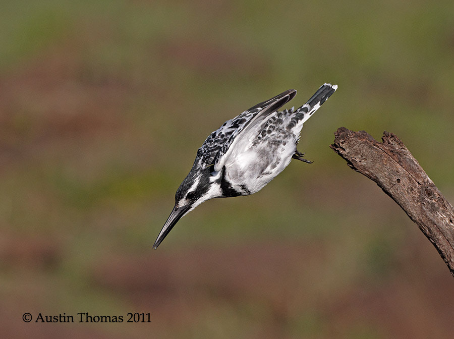 A Pied Kingfisher diving from its perch