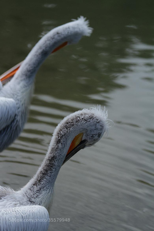 Photograph Pelikan by Stephan Scherz on 500px