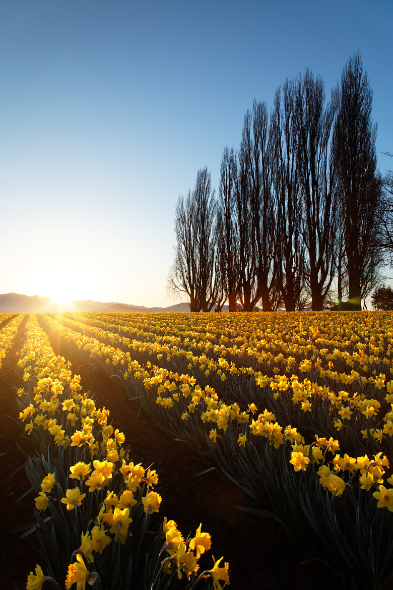 Photograph Skagit Valley daffodils by Brad Mitchell on 500px