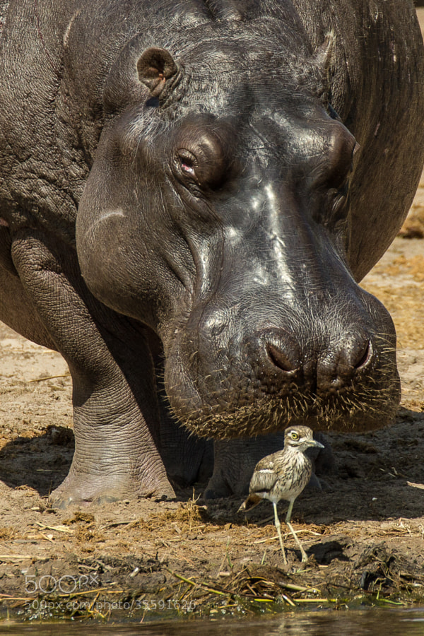 Photograph Hippo shooing bird or bird blocking hippo by Peter Ulbrich on 500px