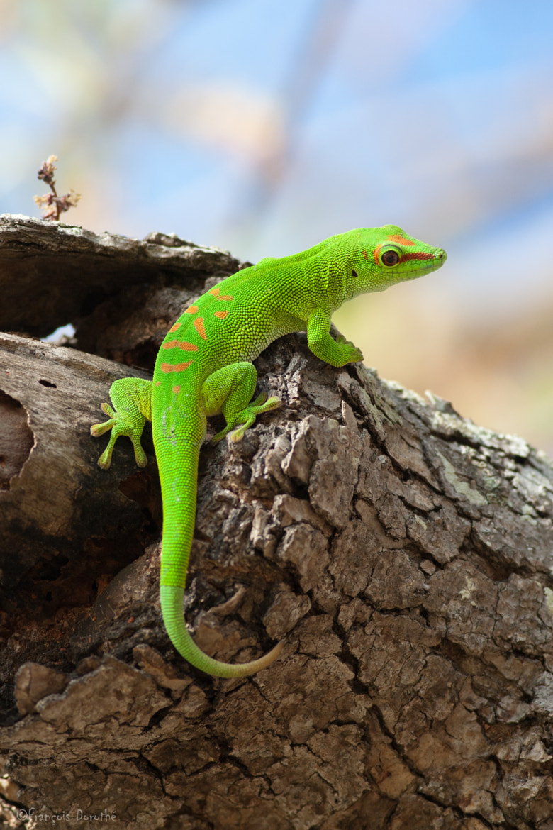 Photograph Giant green day gecko by François Dorothé on 500px