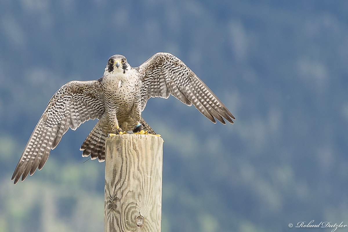 Photograph Falcon by Roland Dutzler on 500px