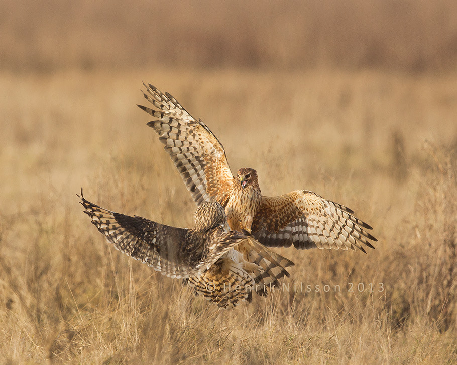 Photograph Raptor Fight by Henrik Nilsson on 500px