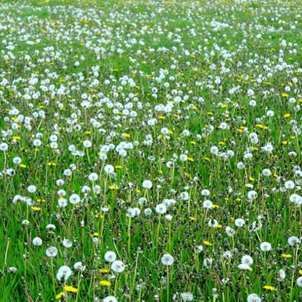 Dandelion, Wild field