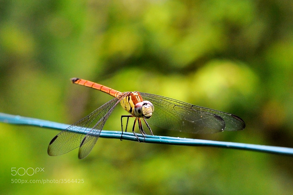 Photograph Dragonfly by Andrew Radke on 500px