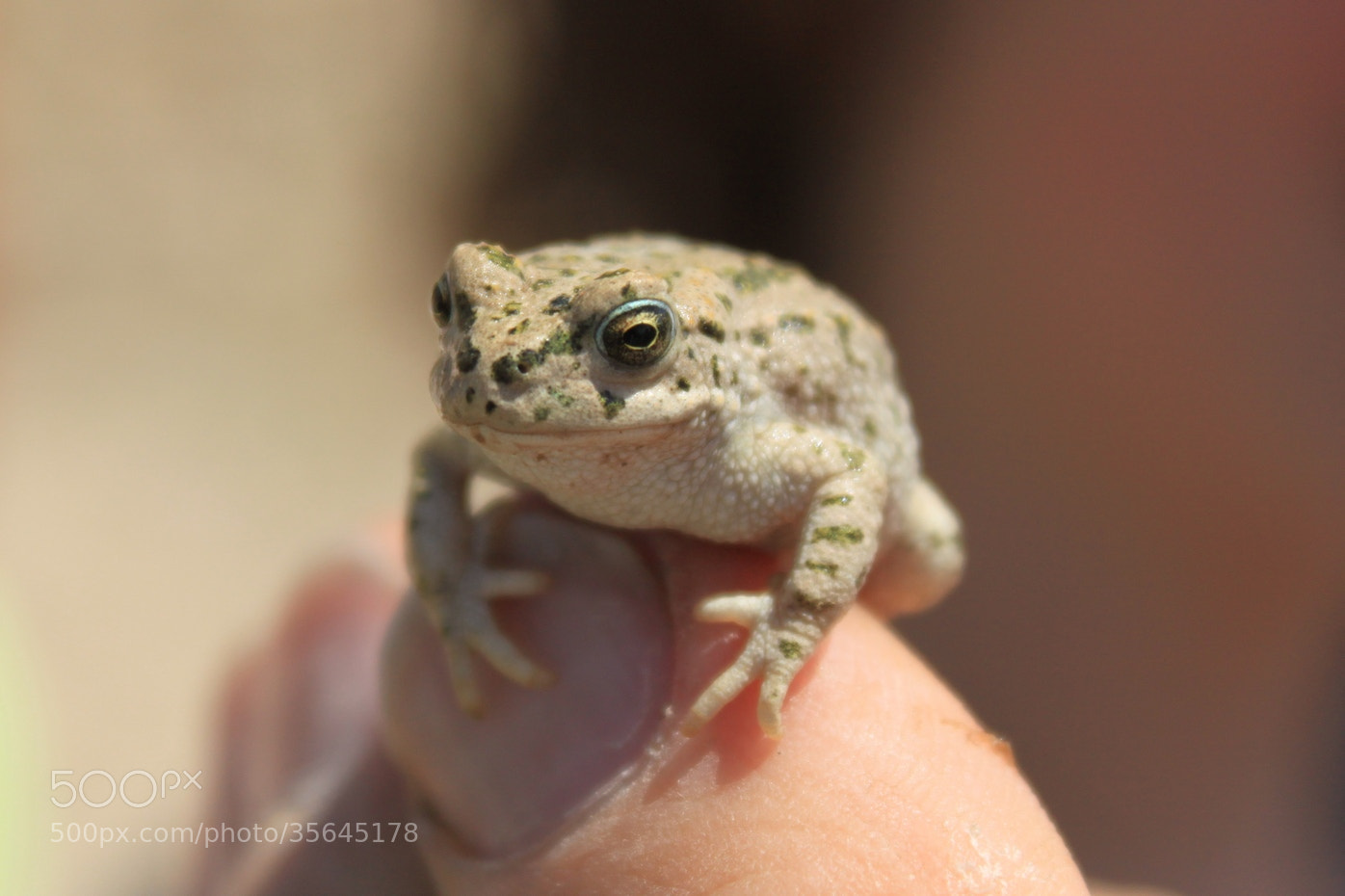 Photograph The Tiny Toad by Torben Langer on 500px