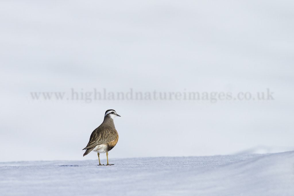 Photograph Dotterel in Snow (Charadrius morinellus) by Andy Howard on 500px