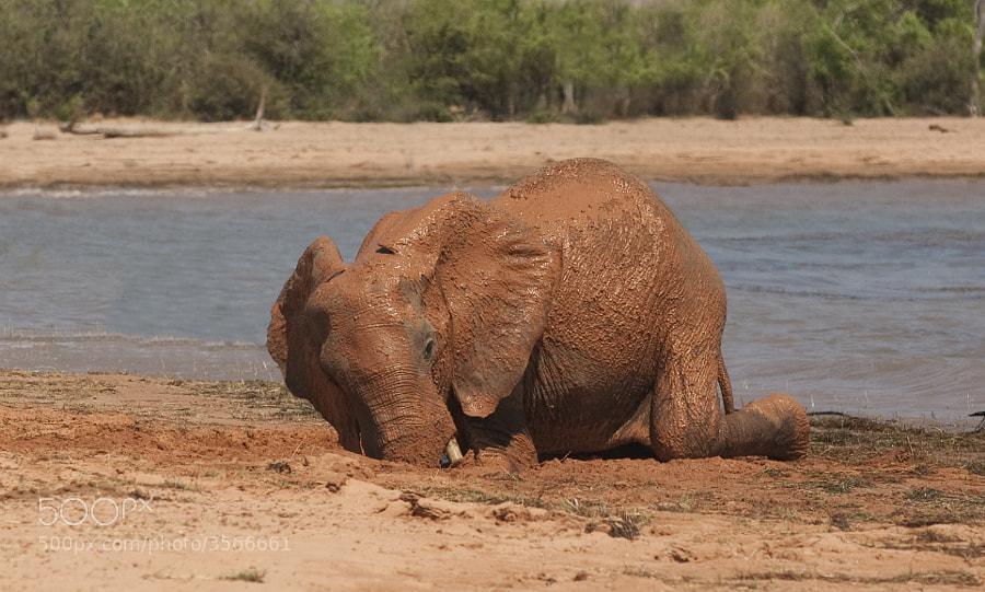 A Young male elephant enjoys a mud bath on the beach of Rhino Island, Matusadona National Park, Zimbabwe