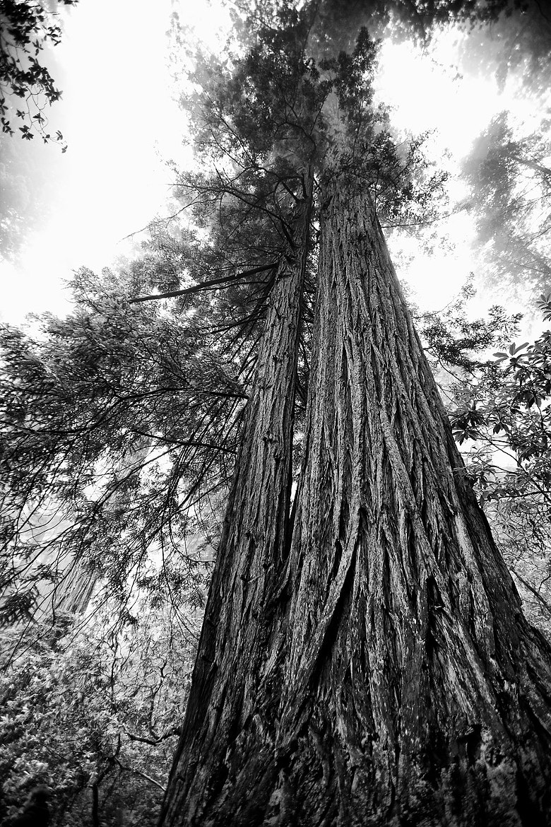 Photograph Redwood by Hannes Ortmann on 500px
