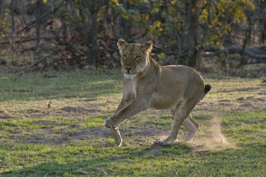 This Lioness was trying to join in to a mating session, but the Male chased her off and went back to his original partner. Taken on the shores of Lke Kariba, Matusadona National Park, Zimbabwe