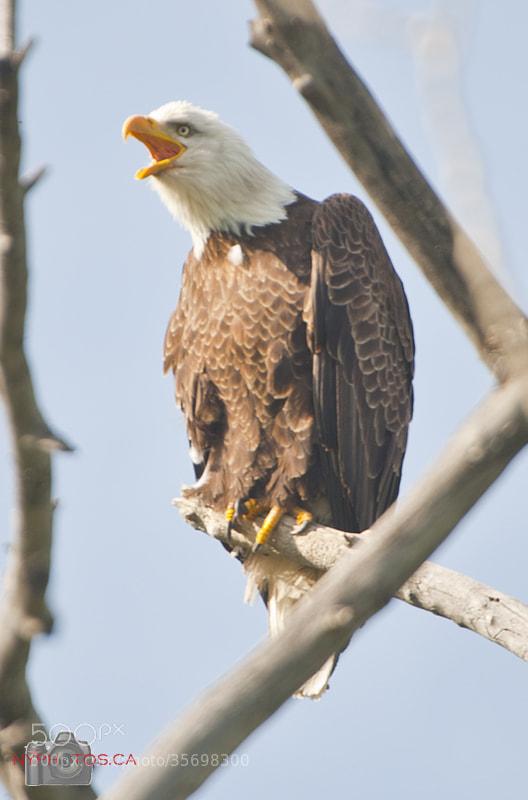 Photograph Bald Eagle (Haliaeetus leucocephalus) Talking by Neil Young on 500px