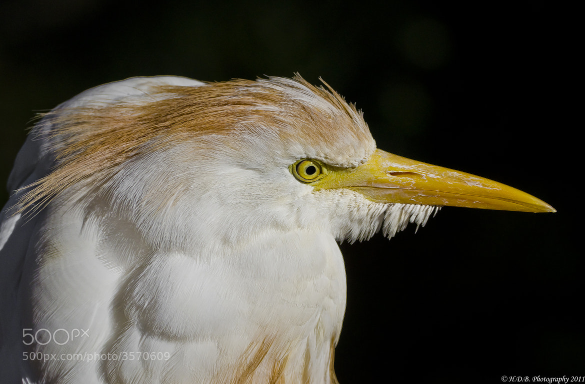 Photograph Western Cattle Egret  by Harold Begun on 500px