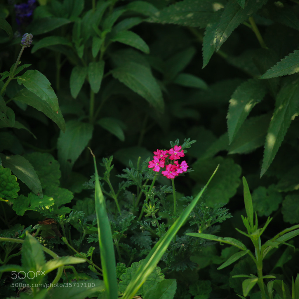 Photograph The little red flower by Bbbean on 500px