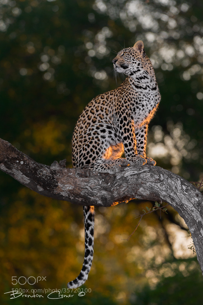 Photograph Posing Leopard by Brendon Cremer on 500px