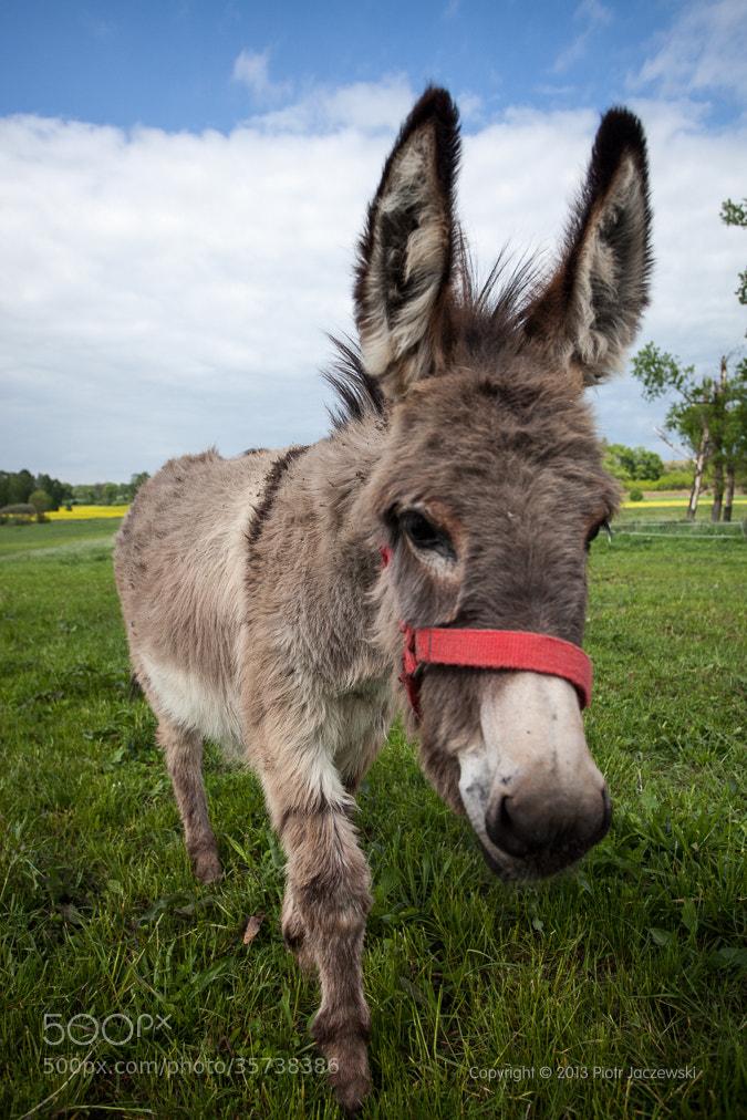 Photograph Donkey by Peter Jot on 500px