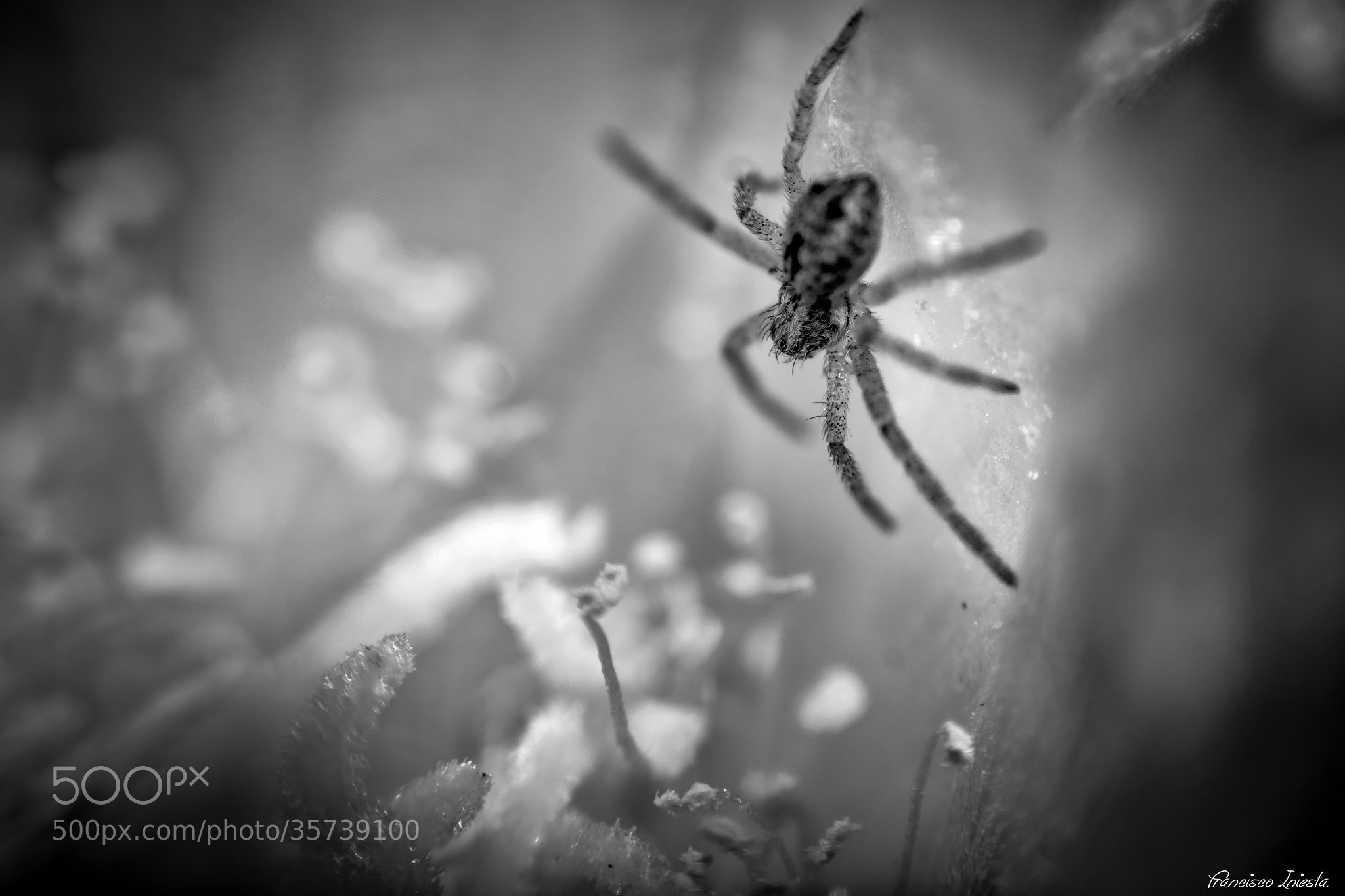 Photograph Mini Spider by Francisco Iniesta on 500px