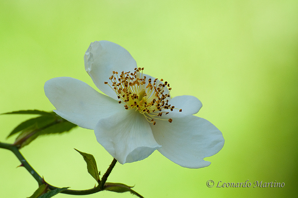 Photograph  ROSA GALLICA by Leonardo Martino on 500px