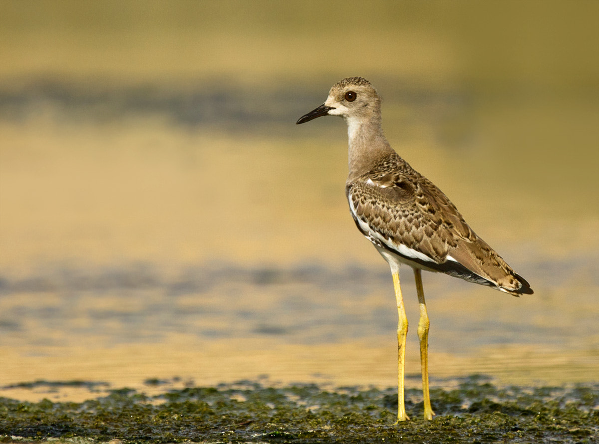 Photograph White Tailed Lapwing by Hermis Haridas on 500px