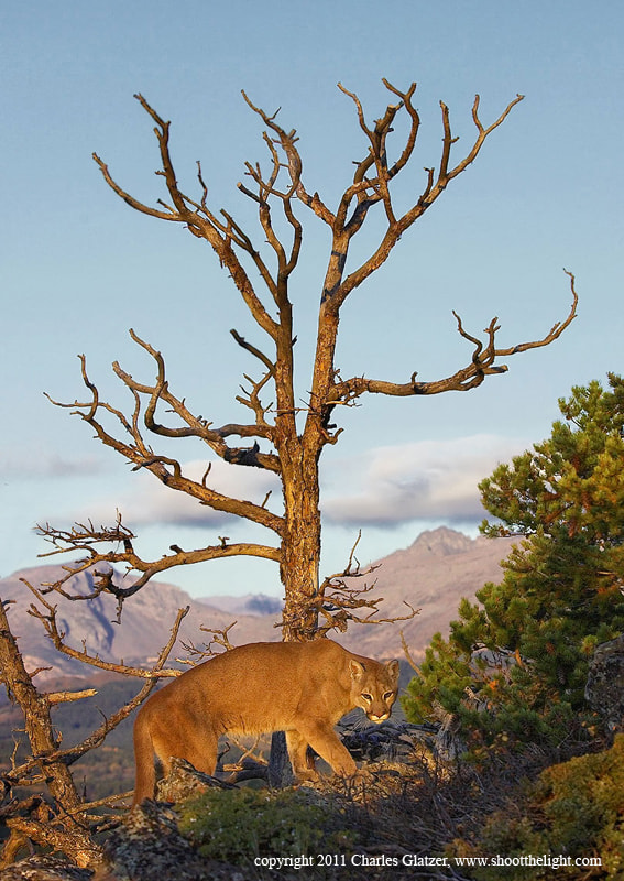 Photograph Mountain Lion at sunrise by Charles Glatzer on 500px