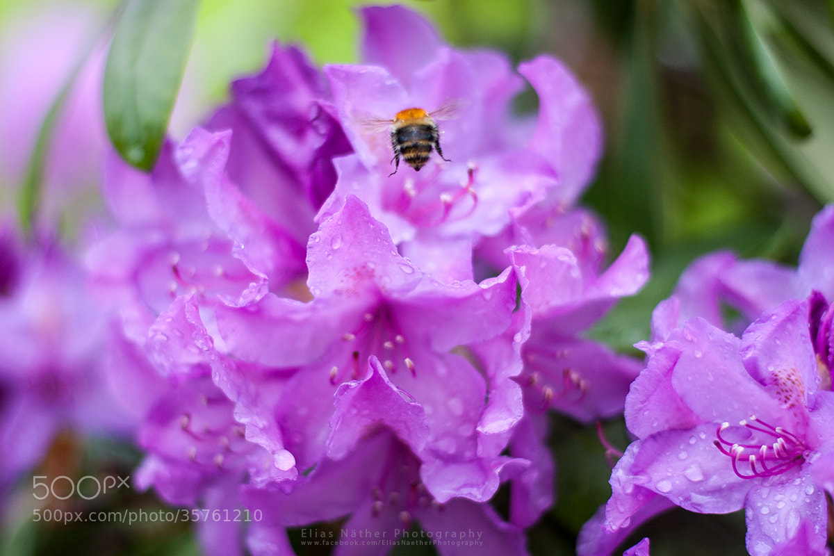 Photograph Bumblebee at Work by Elias Näther on 500px