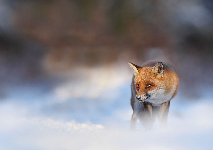 Photograph Winter Fox by ajs73 on 500px