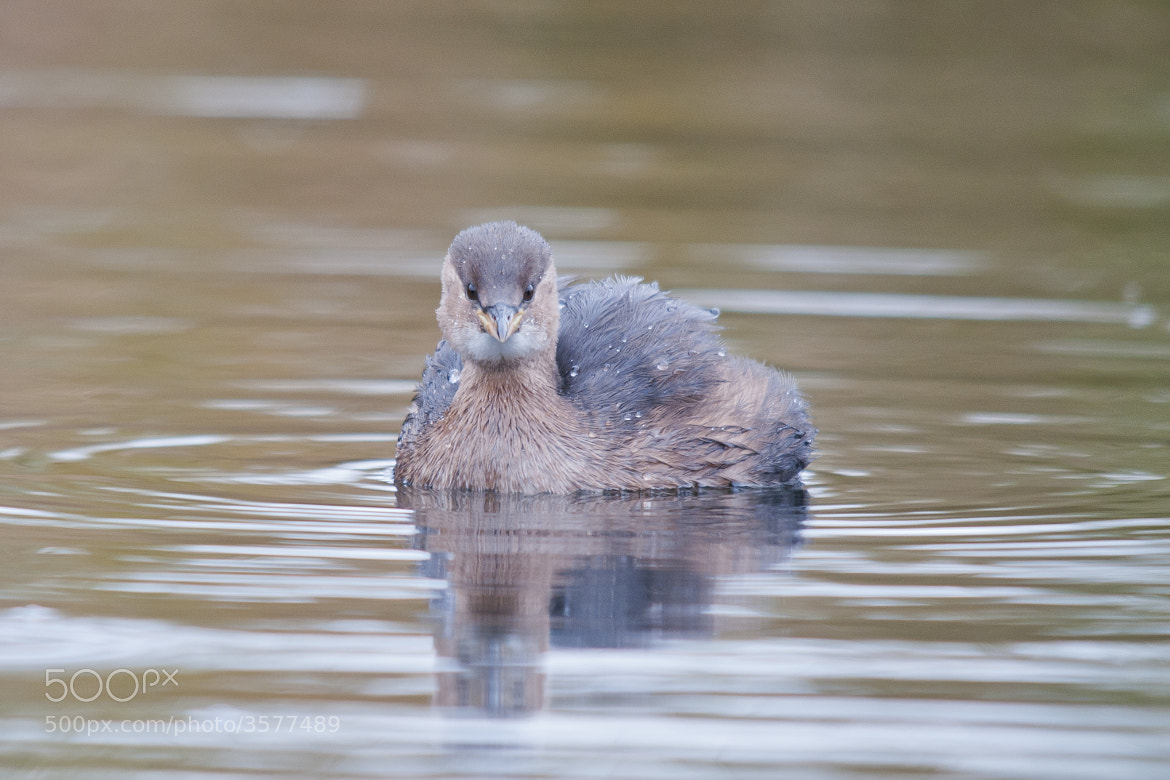 Photograph Little Grebe by Sam Rowley on 500px
