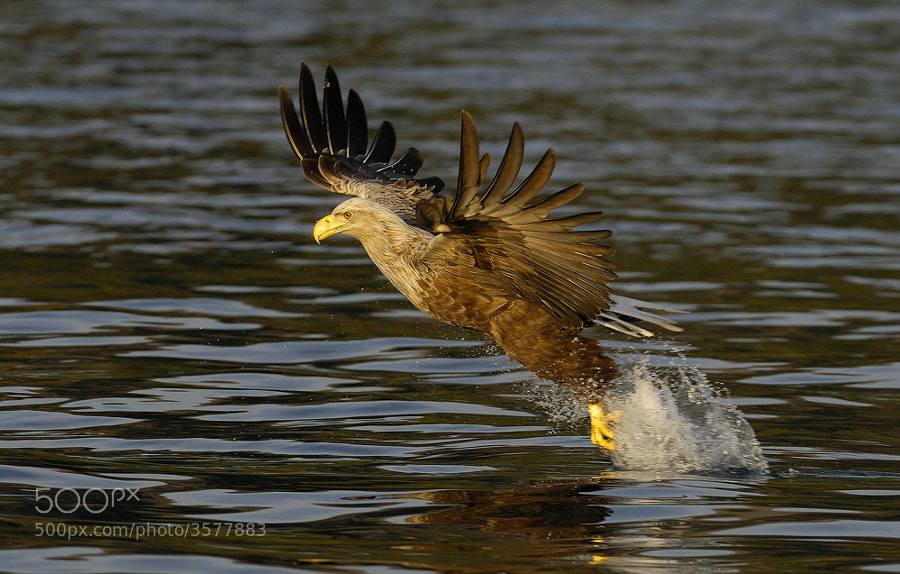 Shot of this White-tailed Eagle taken not long before sunset in a Fjord near Flatanger in Norway. This is the moment the Eagle hits the fish with quite some impact as you can see looking at the water coming with it.  Please click on the image to view large. Thanks in advance.  Best regards,  Harry