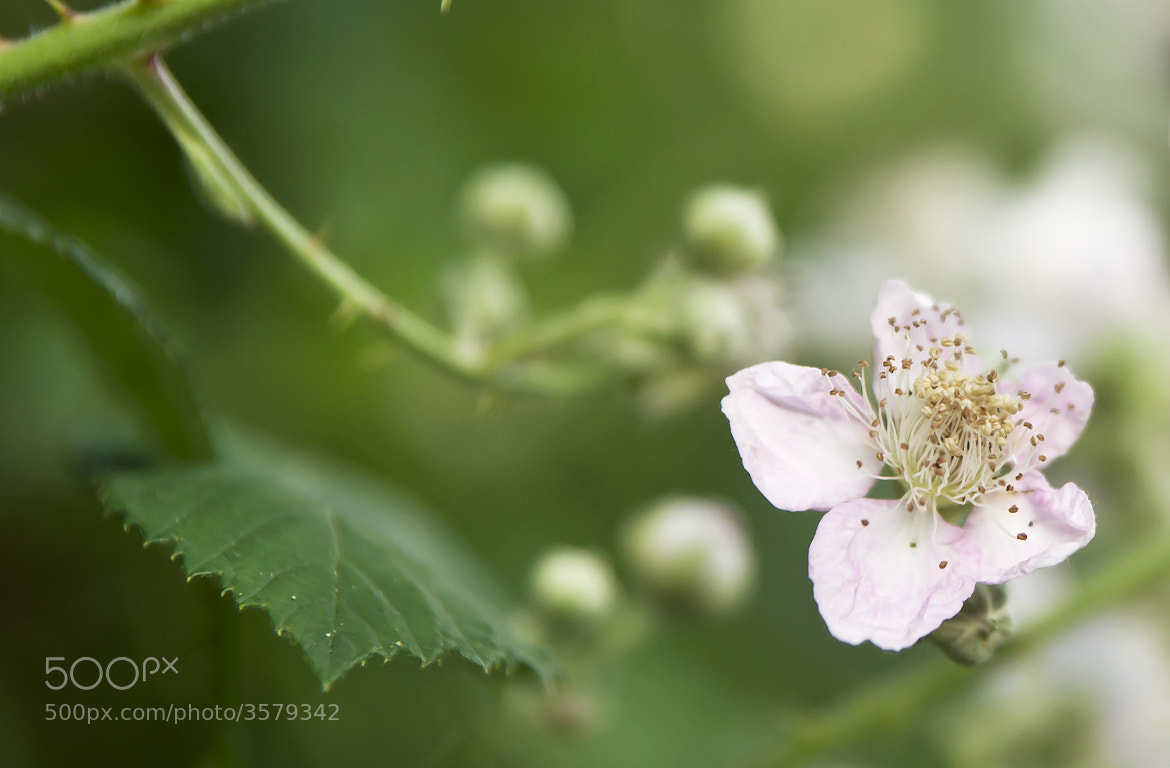 Photograph blackberry by Barbara Willi on 500px