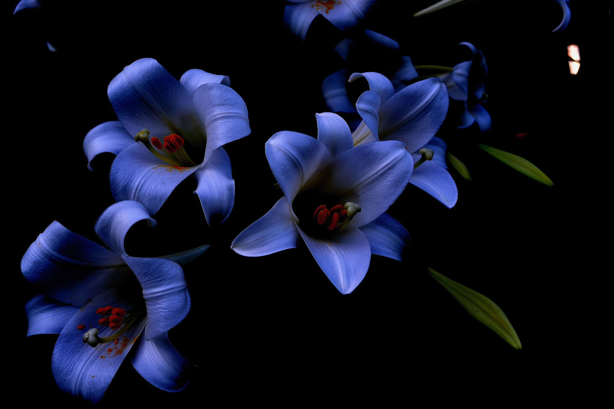 Photograph Blue Lilies At Night by Patricia Warren on 500px