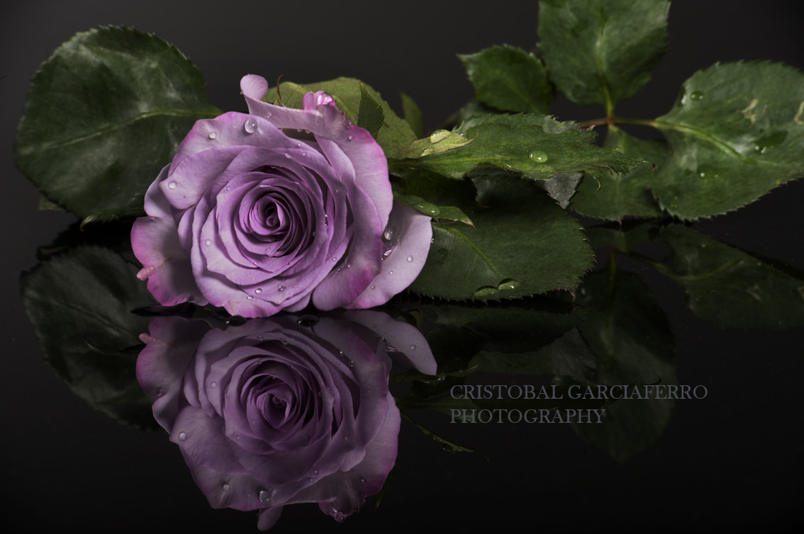 Photograph Rose in lilac tone by Cristobal Garciaferro Rubio on 500px