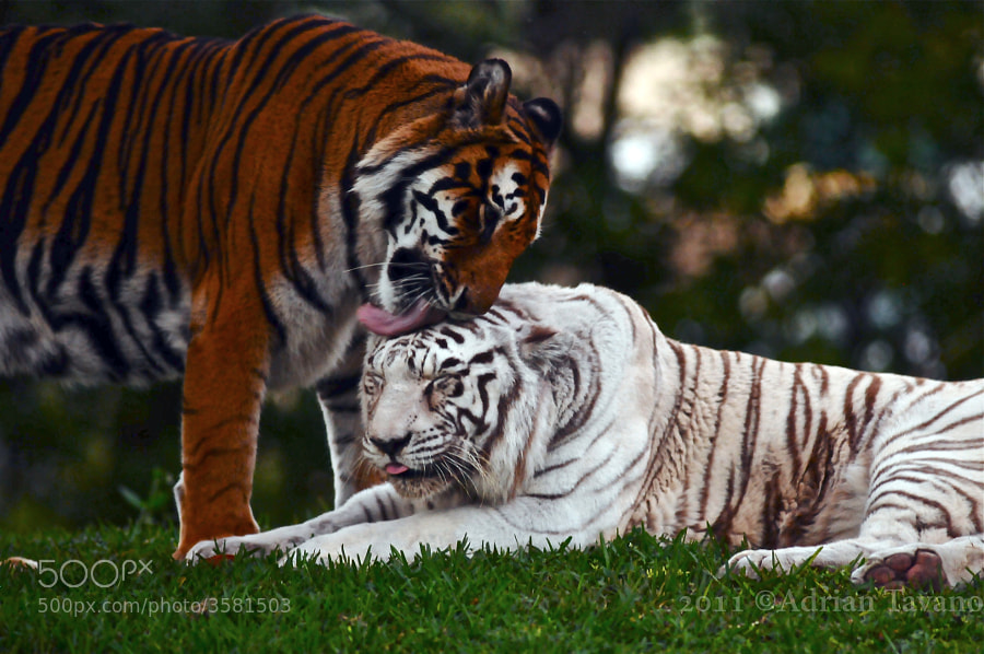 Two bengal tigers, sisters (adopted) grew up together and now 19 years of age, final years and making every lick count.
