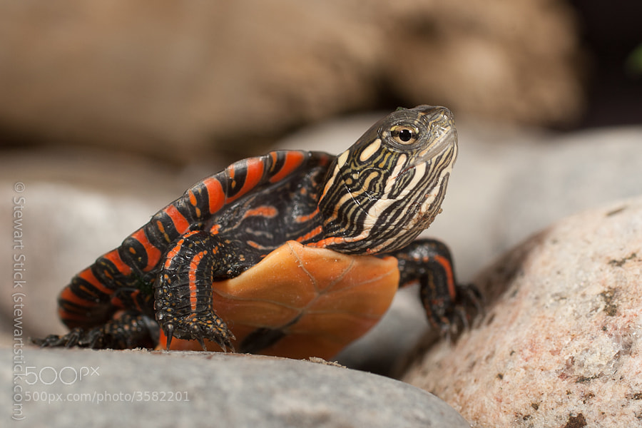 baby Painted Turtle by Stewart Stick (stickshots)) on 500px.com