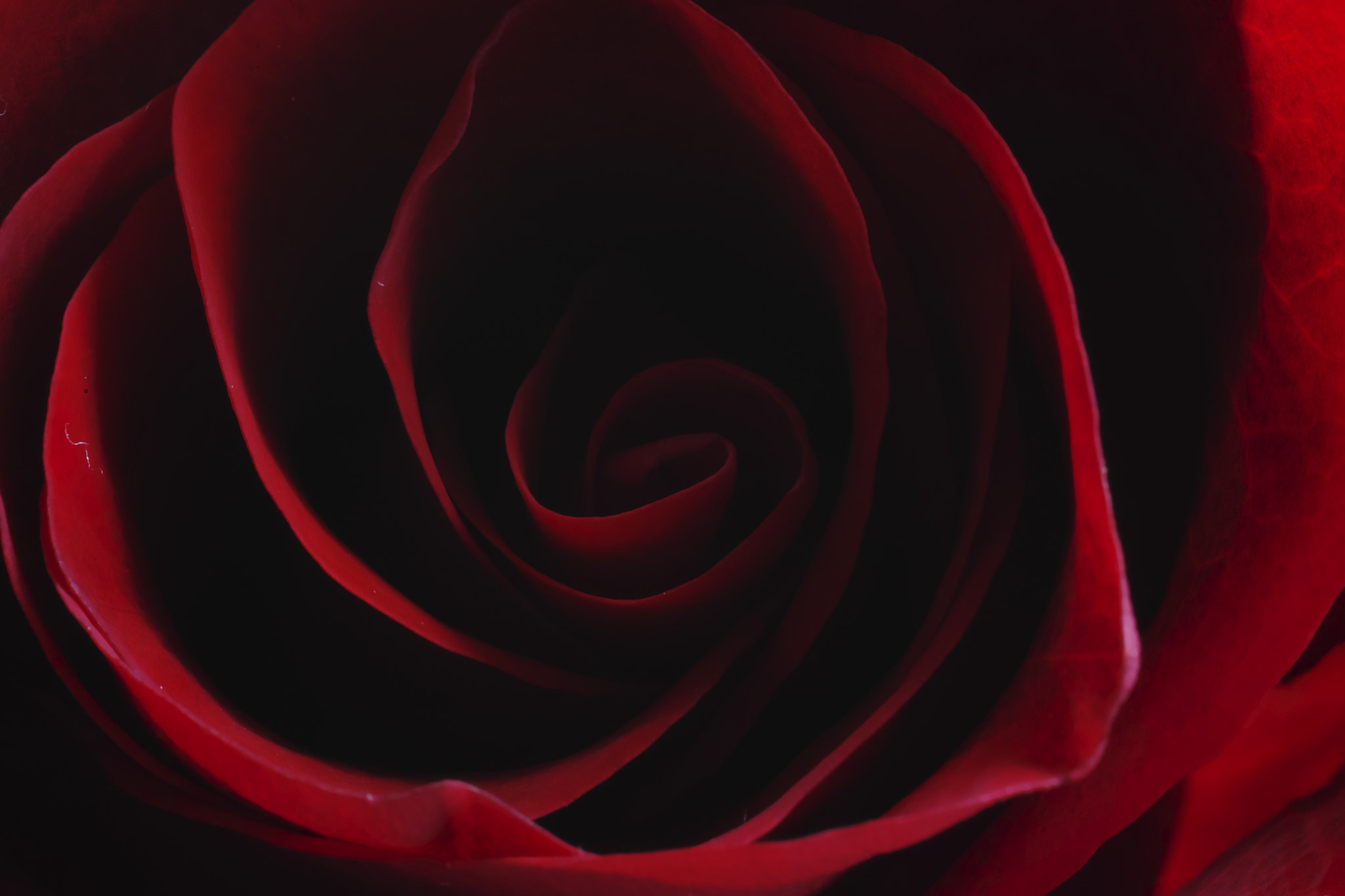 Photograph Red Rose by sevenhalf  on 500px