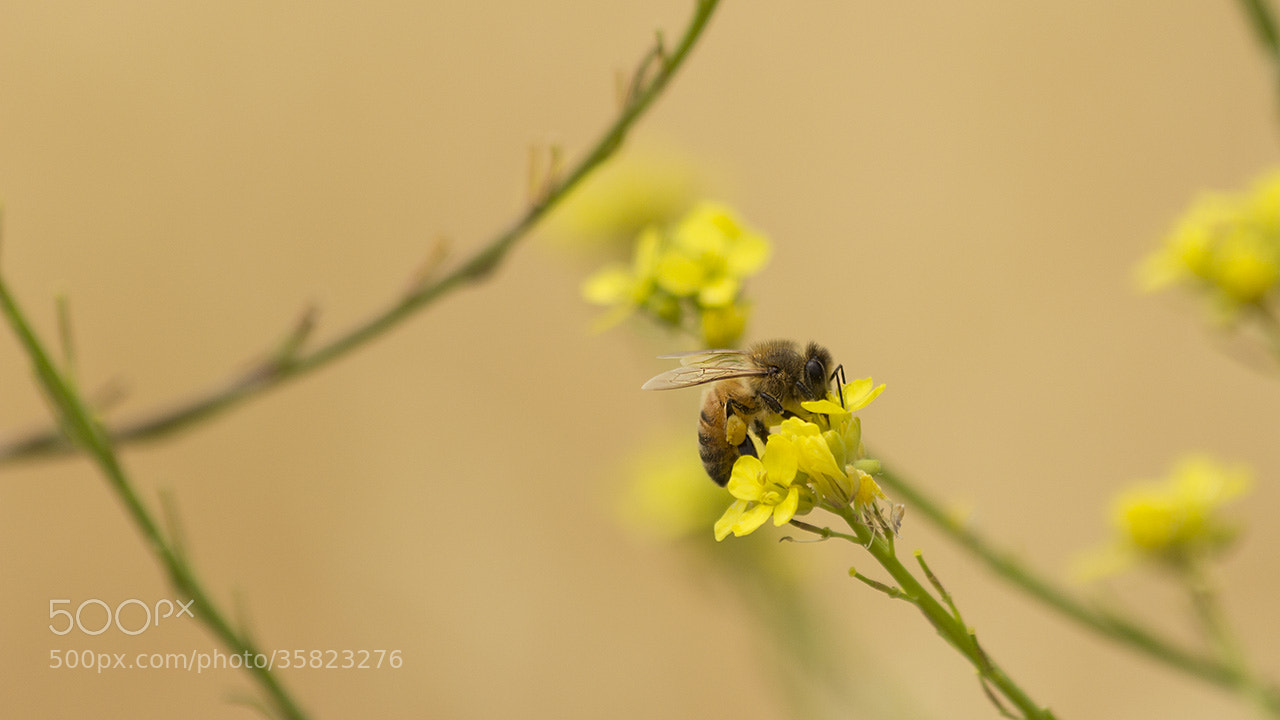 Photograph Bee 2 by Nando Albuquerque on 500px