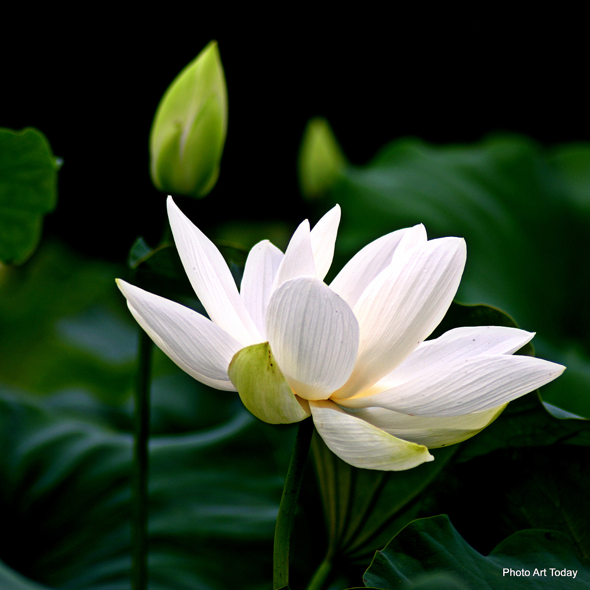 Photograph Lotus Flower by Andrew Dutton on 500px