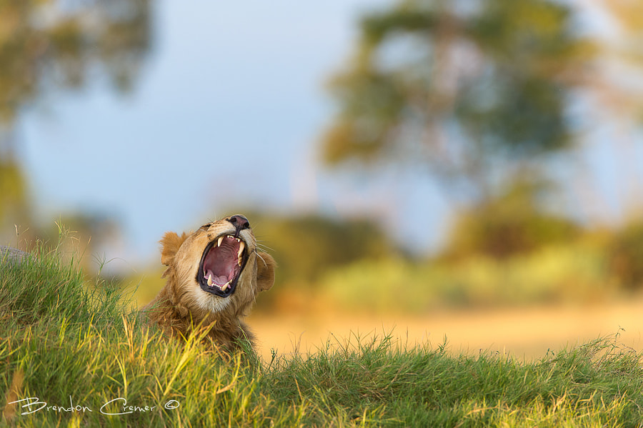 Photograph Lions Yawn by Brendon Cremer on 500px