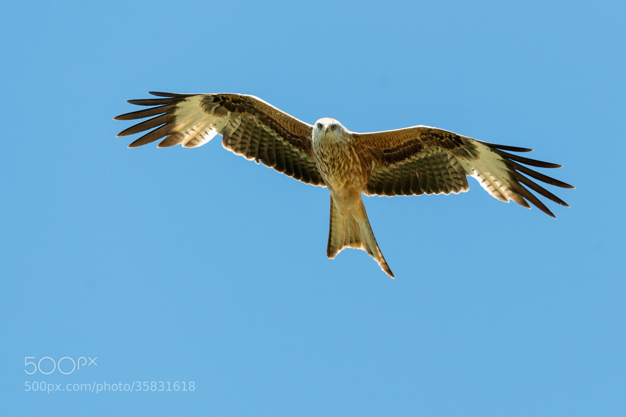 Photograph Rotmilan   Red kite by Franz Engels on 500px