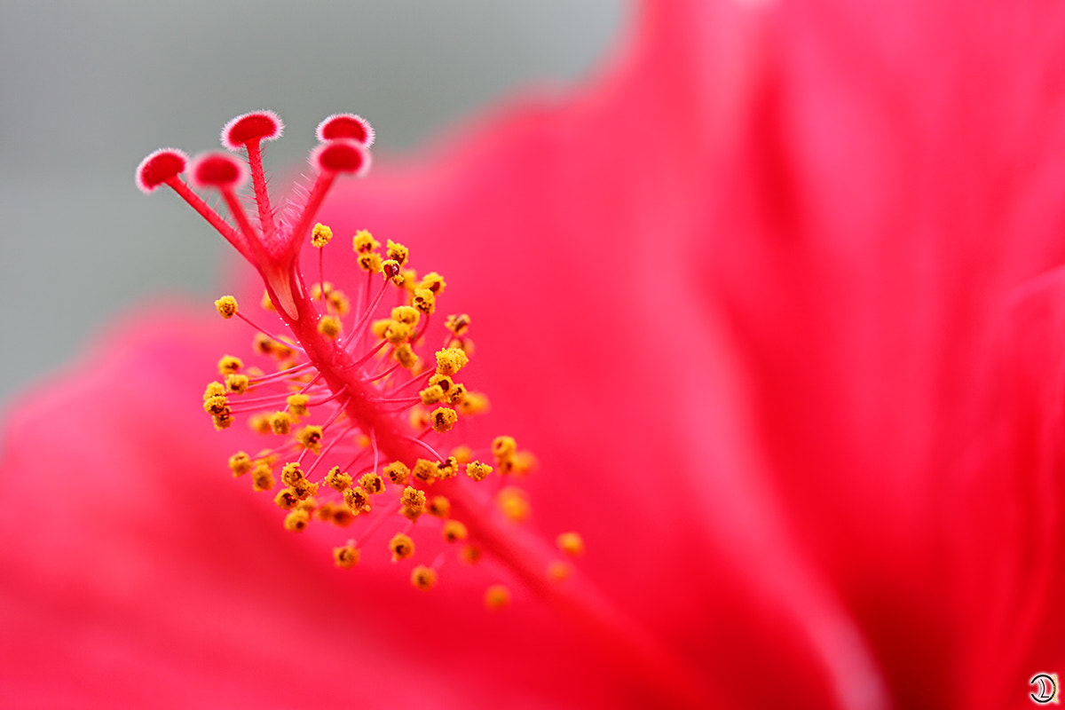 Photograph RED FLOWER by Daniel Lang on 500px