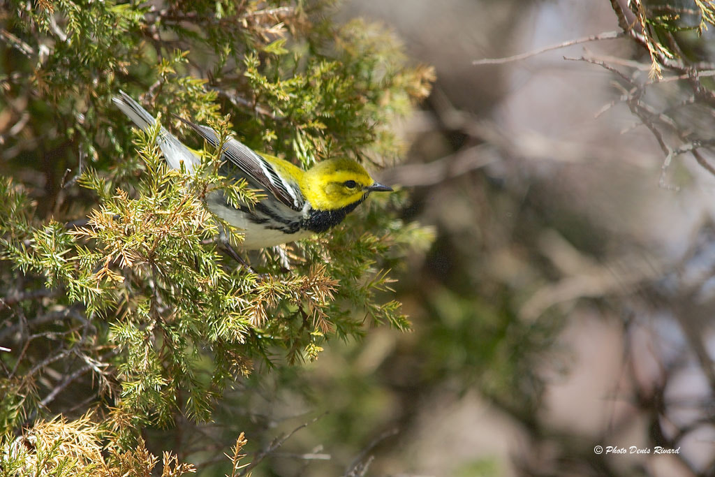Photograph Black-throated green warbler by Denis Rivard on 500px