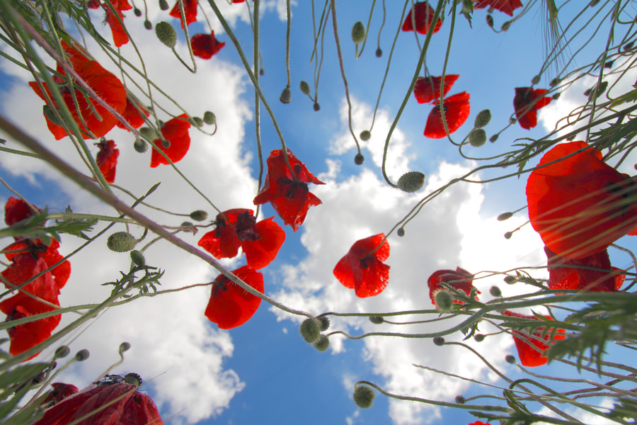 Photograph Poppies & Clouds by Andrés López on 500px