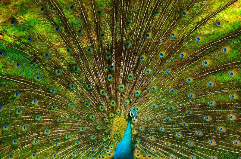 Photograph Peacock @ KL Birdpark by Ridzwan Ridzwan on 500px