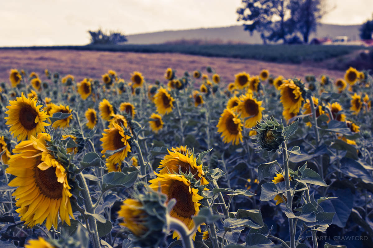 Photograph Sunflowers #3 by Stuart Crawford on 500px