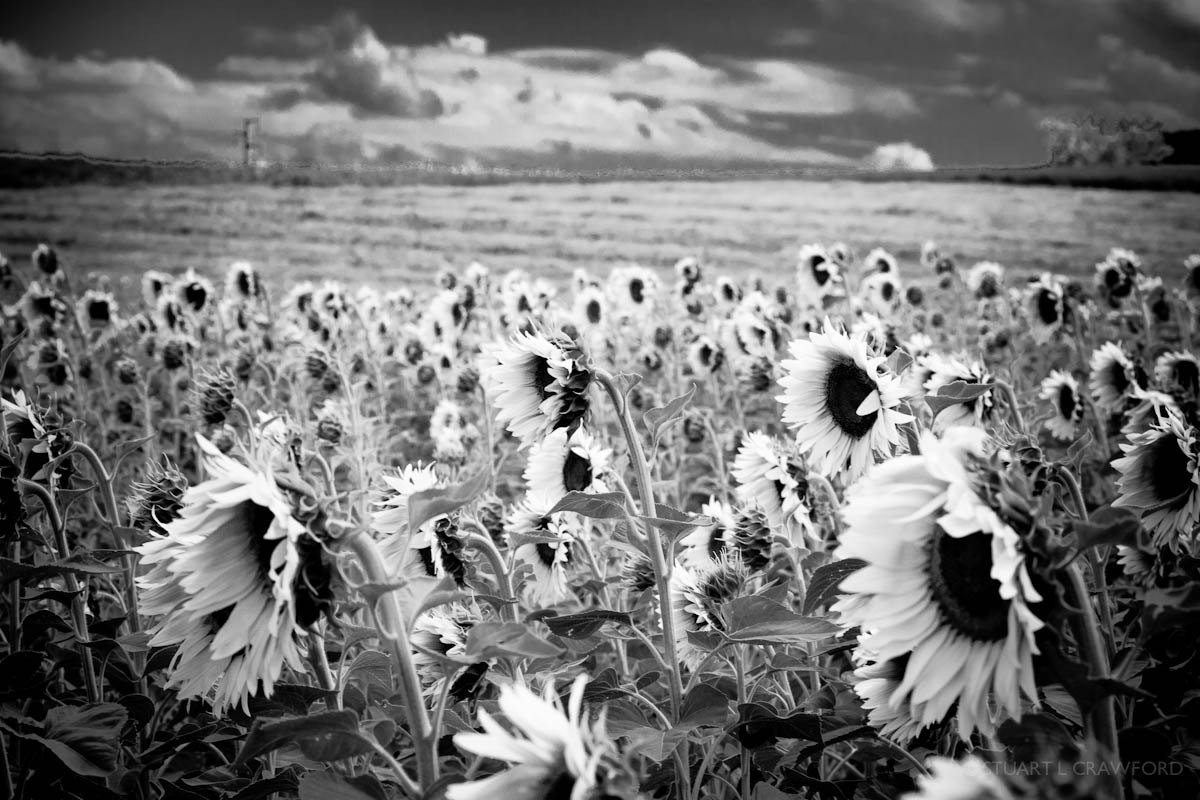 Photograph Sunflowers #4 by Stuart Crawford on 500px