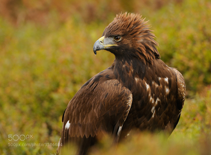 On of the nice things in my opinion is the way these beautiful Golden Eagles can put up there head feathers like a cock's comb. Don't exactly know if they do it out of anger or out of proud, but guess it's more out of anger.  Best regards,  Harry