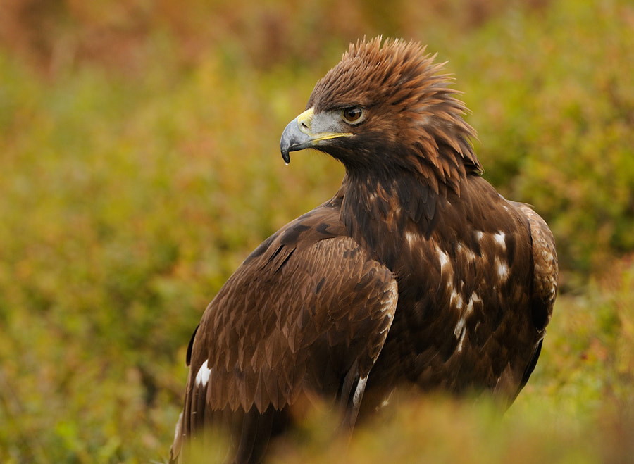 On of the nice things in my opinion is the way these beautiful Golden Eagles can put up there head feathers like a cock's comb. Don't exactly know if they do it out of anger or out of proud, but guess it's more out of anger.