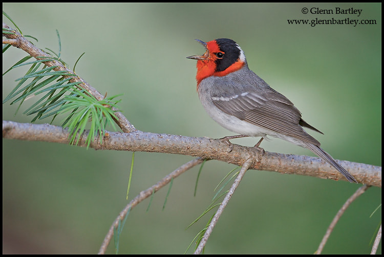 Photograph Red-faced Warbler by Glenn Bartley on 500px