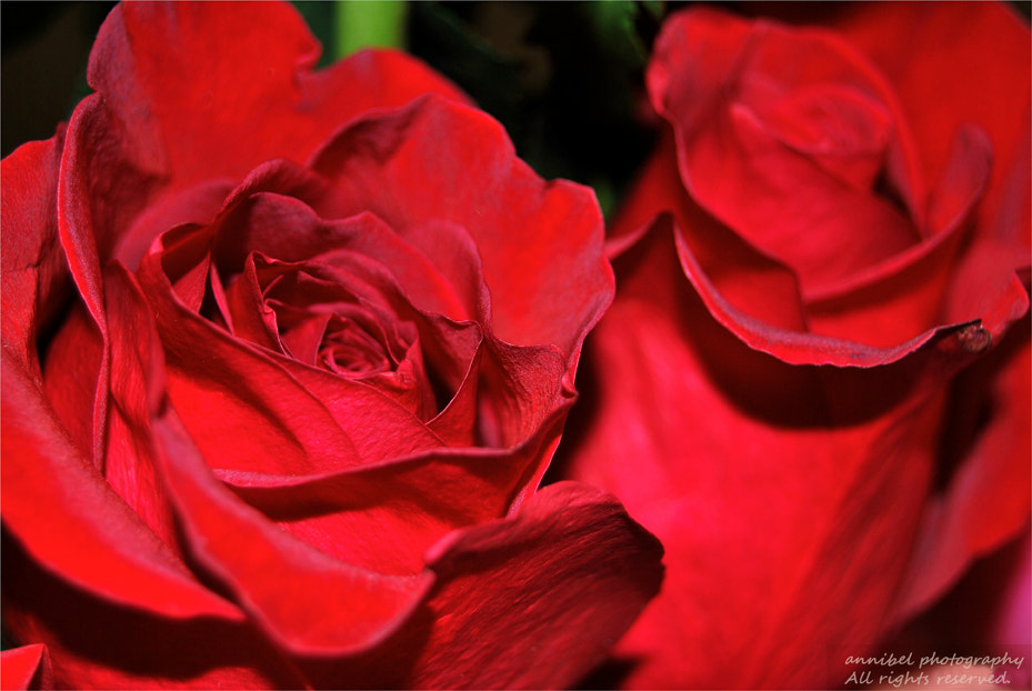 Photograph Rosas... by annibel  photography on 500px