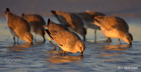 Photograph Red Knot Morning by Steve Leach on 500px