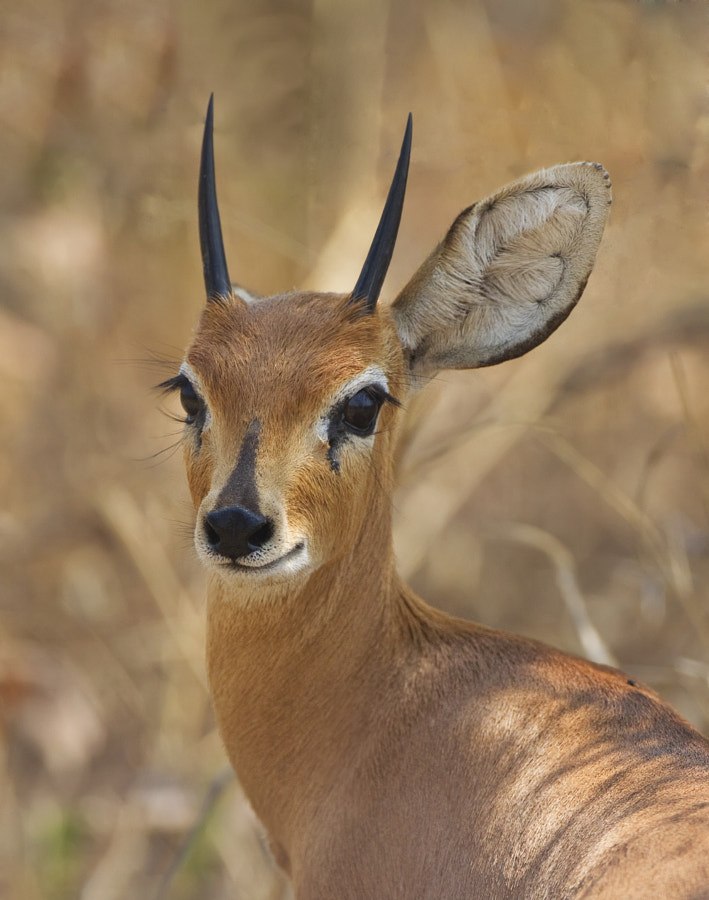 Not really, Steenbok have the ability to rotate their ears in almost any position, taken in Hwange National Park, Zimbabwe