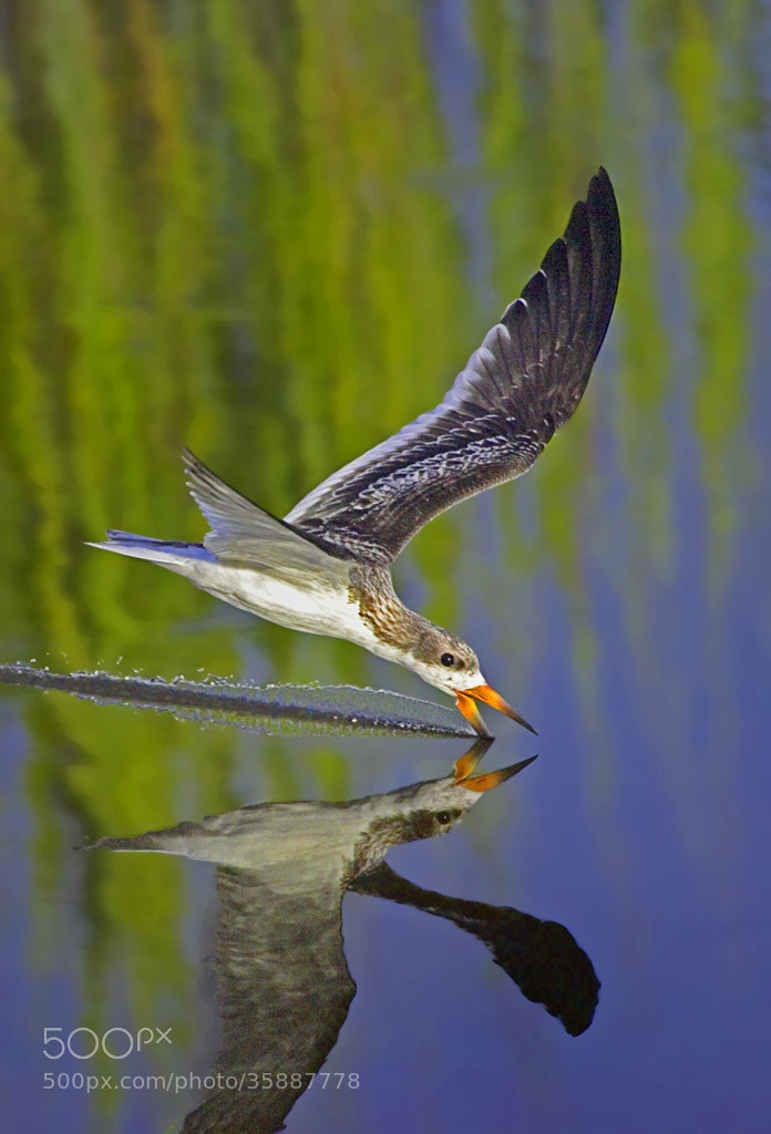 Photograph Skimming by James Hilliard on 500px